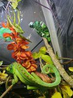 Jacksons Chameleon Reptiles for sale in Denver, CO, USA. price: NA