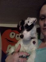 Jamthund Puppies Photos