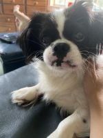 Japanese Chin Puppies for sale in New Port Richey, FL, USA. price: NA