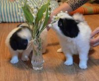 Japanese Chin Puppies for sale in Petrolia, TX, USA. price: NA