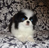 Japanese Chin Puppies for sale in Springfield, MO, USA. price: NA