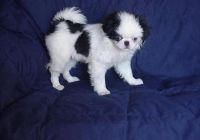 Japanese Chin Puppies for sale in Baileyville, KS 66404, USA. price: NA