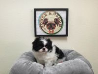 Japanese Chin Puppies for sale in California, USA. price: NA