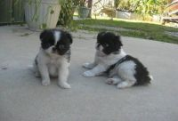 Japanese Chin Puppies for sale in Madison, WI, USA. price: NA