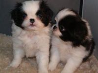 Japanese Chin Puppies for sale in Harrisburg, PA, USA. price: NA