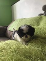 Japanese Chin Puppies for sale in Anchorage, AK, USA. price: NA