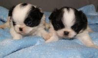 Japanese Chin Puppies for sale in Phoenix, AZ, USA. price: NA