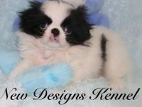 Japanese Chin Puppies for sale in Alma Center, WI 54611, USA. price: NA