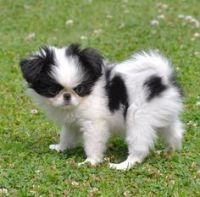 Japanese Chin Puppies for sale in Tacoma, WA, USA. price: NA