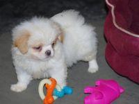 Japanese Chin Puppies for sale in Spokane, WA, USA. price: NA