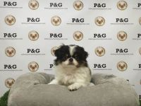 Japanese Chin Puppies for sale in Los Angeles, CA, USA. price: NA