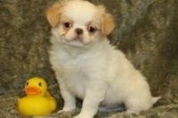 Japanese Chin Puppies for sale in San Francisco, CA, USA. price: NA