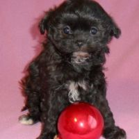 Japanese Chin Puppies for sale in Canton, OH, USA. price: NA