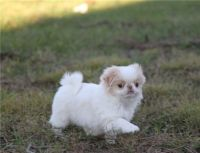 Japanese Chin Puppies for sale in Columbus, OH, USA. price: NA