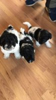 Japanese Chin Puppies for sale in OR-99W, McMinnville, OR 97128, USA. price: NA