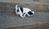 Japanese Chin Puppies for sale in Bloomfield Ave, Bloomfield, CT 06002, USA. price: NA