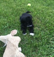 Japanese Chin Puppies for sale in Detroit, MI, USA. price: NA