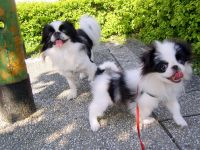 Japanese Chin Puppies for sale in CA-1, Mill Valley, CA 94941, USA. price: NA