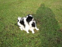 Japanese Chin Puppies for sale in Texas Ave, Houston, TX, USA. price: NA
