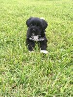 Japanese Chin Puppies for sale in Cincinnati, OH, USA. price: NA