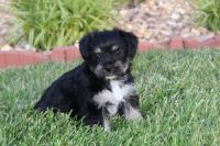 Japanese Chin Puppies for sale in Beverly Hills, CA 90210, USA. price: NA