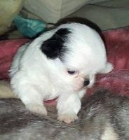 Japanese Chin Puppies for sale in Jacksonville, FL, USA. price: NA