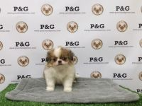 Japanese Chin Puppies for sale in Temple City, CA, USA. price: NA