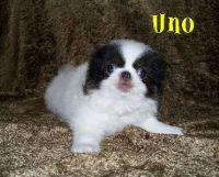Japanese Chin Puppies for sale in San Jose, CA, USA. price: NA