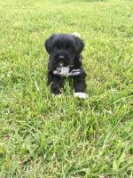 Japanese Chin Puppies for sale in Boston, MA, USA. price: NA
