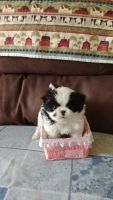 Japanese Chin Puppies for sale in Fillmore, NY 14735, USA. price: NA