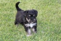 Japanese Chin Puppies for sale in Newark, NJ, USA. price: NA