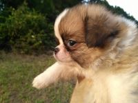 Japanese Chin Puppies for sale in Ahoskie, NC 27910, USA. price: NA
