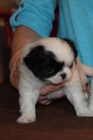 Japanese Chin Puppies for sale in Willard, MO, USA. price: NA