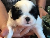 Japanese Chin Puppies for sale in Salem, OR, USA. price: NA