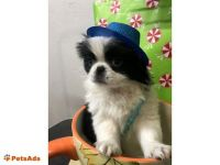 Japanese Chin Puppies for sale in Chicago, IL, USA. price: NA