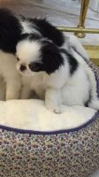 Japanese Chin Puppies for sale in Alaska St, Staten Island, NY 10310, USA. price: NA