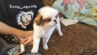 Japanese Chin Puppies Photos