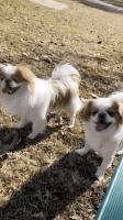 Japanese Chin Puppies for sale in Sunnyside, WA, USA. price: NA
