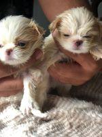 Japanese Chin Puppies Photos