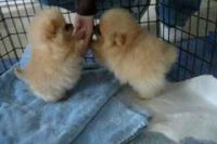 Japanese Chin Puppies for sale in Isreal St, White Hall, IL 62092, USA. price: NA