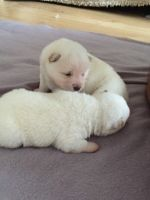 Japanese Terrier Puppies for sale in Cedar Rapids, IA, USA. price: NA