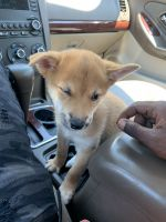 Japanese Terrier Puppies for sale in Virginia Beach, VA, USA. price: NA