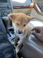 Japanese Terrier Puppies Photos