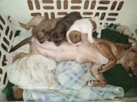 Japanese Terrier Puppies for sale in Daleville, AL 36322, USA. price: NA