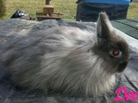 Jersey Wooly Rabbits for sale in Roseville, OH 43777, USA. price: NA