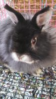 Jersey Wooly Rabbits for sale in Marietta, PA 17547, USA. price: NA