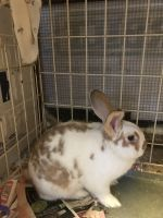 Jersey Wooly Rabbits Photos