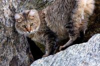 jungle bob cat