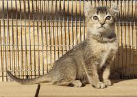 jungle curl cat