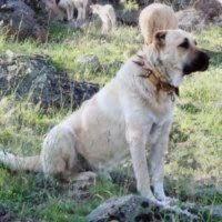kangal dog dog